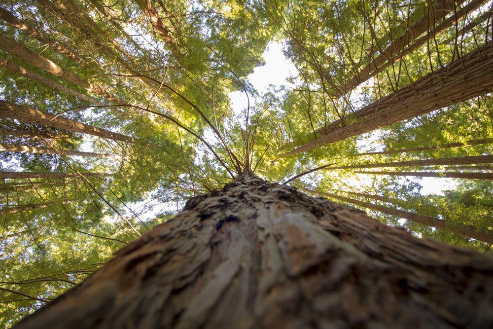 Vista del cielo, con las sequoias