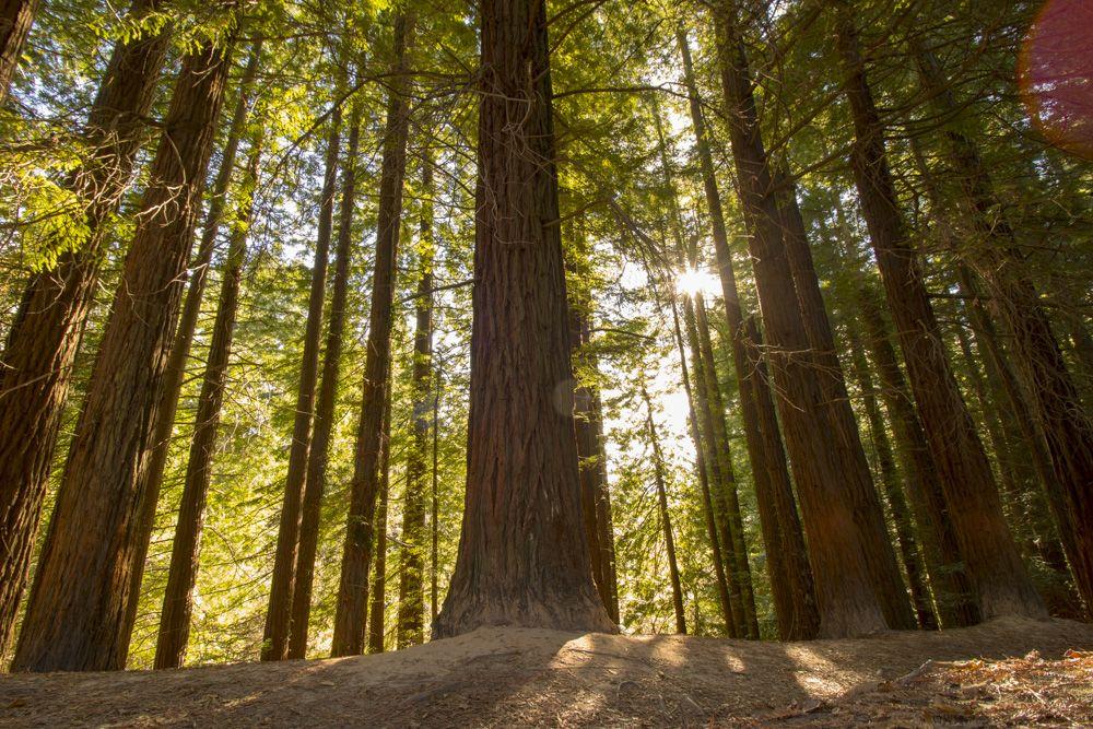 conjunto de sequoias costeras